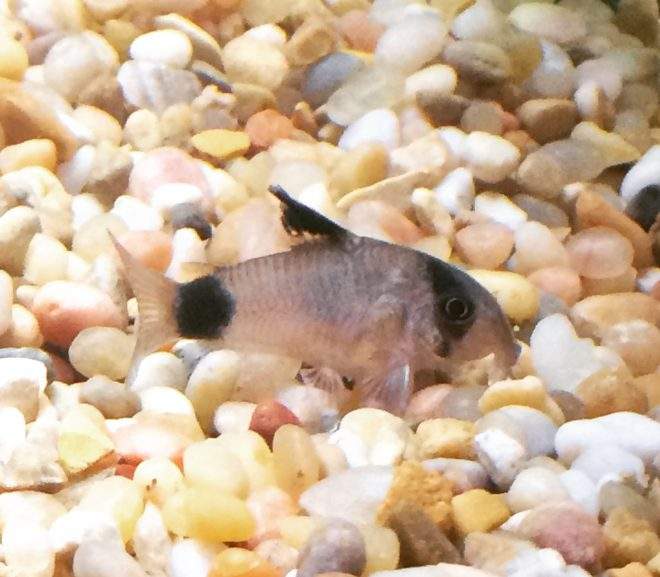 An aquarium fish, the cory catfish.
